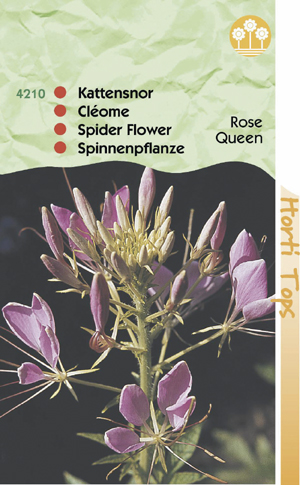 Cleome spinosa rose Qween ( kattensnor ) 0.75