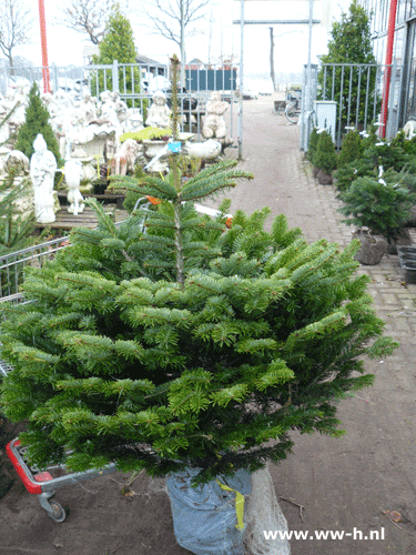 Abies nordmaniana in pot