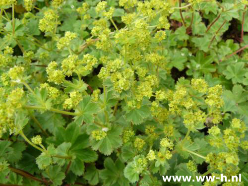 alchemilla erythropoda. Black Bedroom Furniture Sets. Home Design Ideas
