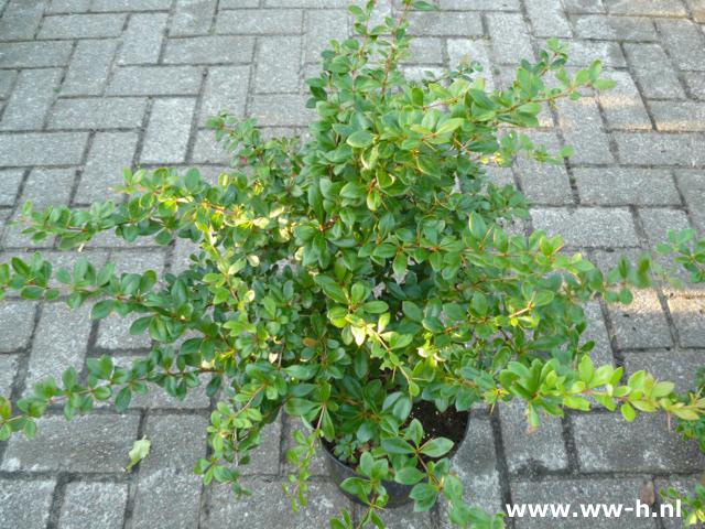 Berberis media 'Parkjuweel' pot 7.5 liter 9,99