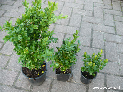 Buxus in potje v.a. 0,75