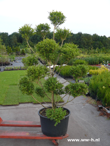 Buxus in assortiment