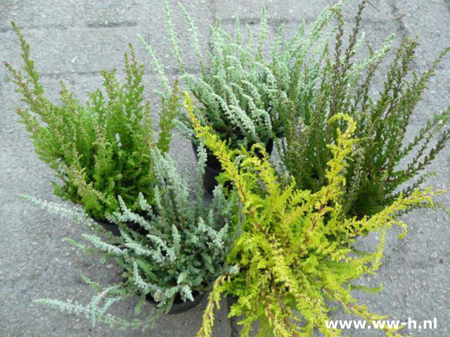 Calluna vulgaris soorten in pot 1,00
