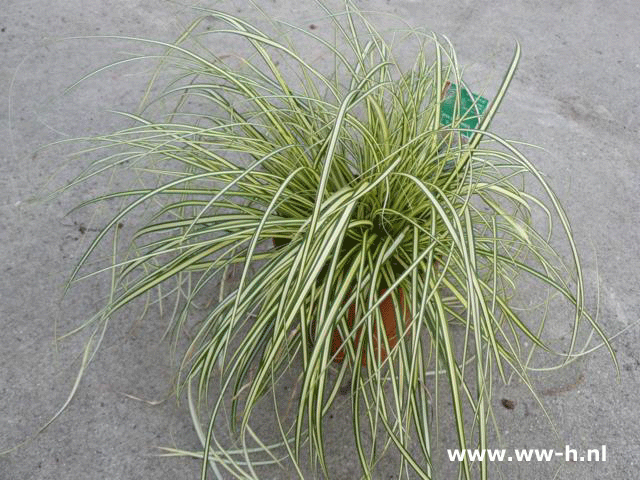 Carex oschimensis 'Evergold'