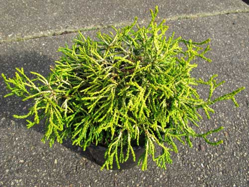 Chamaecyparis obtusa Tsatsumi Gold' Pot 2L 4.99