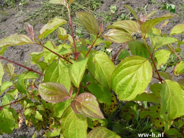Cornus sanguinea 'Winter Beauty' pot 3liter 4,50