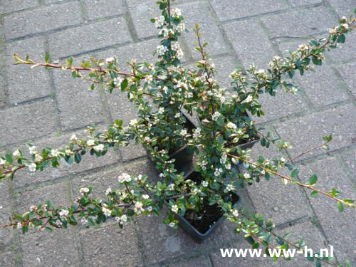 Cotoneaster 'Coral Beauty 0.99