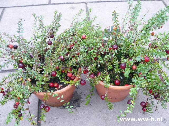 Правильная посадка садовой клюквы
