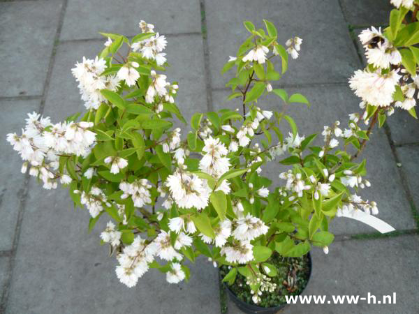 Deutzia scabra Plena 3 liter pot 4,50