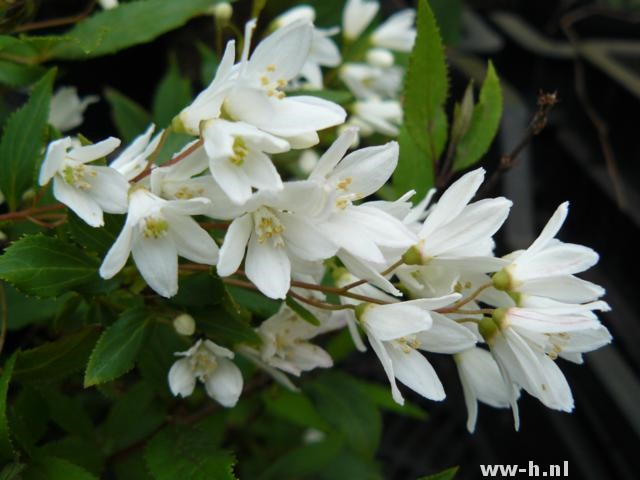 Deutzia gracilis pot 3liter 3.99