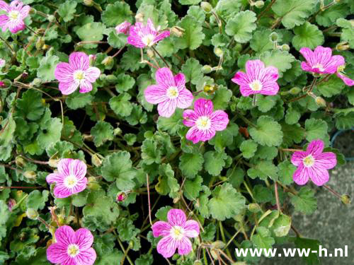 Erodium variabile 'Bischops Form'