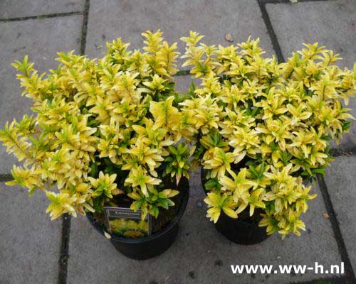 Euonymus japonicus Happiness 5,50