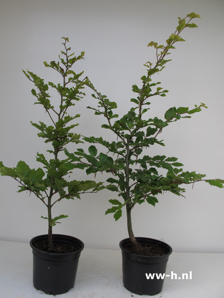 Fagus sylvatica beuk in pot 40 60 cm 2.00 ; 60-80 cm 2.50