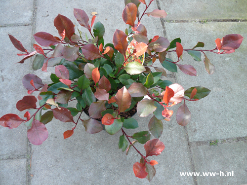 Glansmispel Photinia 'Little Red Robin' v.a.5,99