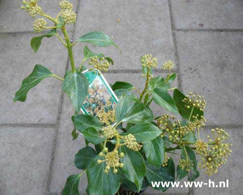 Hedera colchica 'Fall Favourite' (syn. H. c. 'Arborescens') 5.99