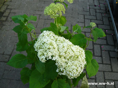 Hydrangea arborescens Strong 'Annabelle' Groot 12,50