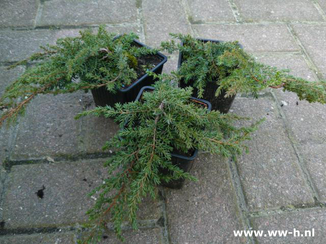 Juniperus communis 'Green Carpet' p9 1.25