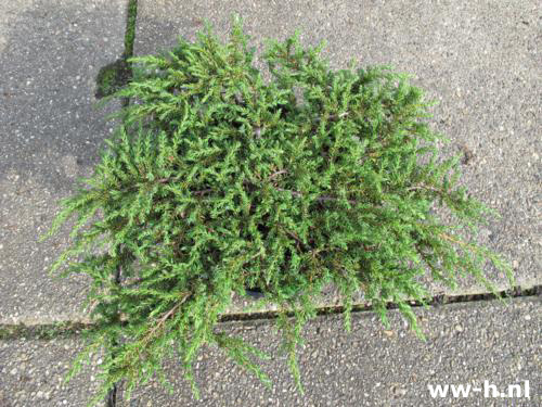 Juniperus communis 'Green Carpet' Pot 5L 7.50