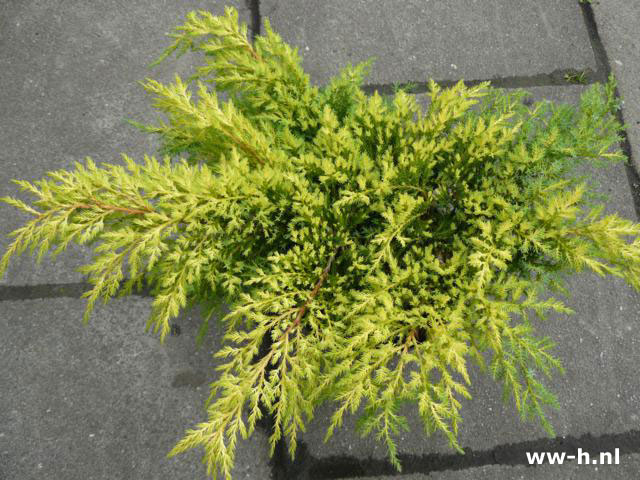 Juniperus x pfitzeriana 'Goldkissen'