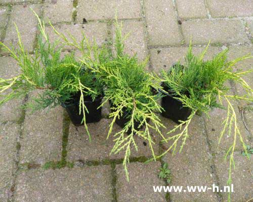 Juniperus pfitzeriana 'Old Gold' pot 9 cm 1,25