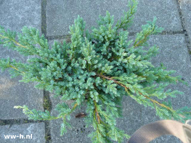 Juniperus squamata 'Blue Carpet' pot 9 cm 1,25