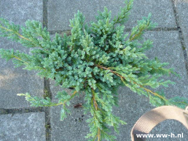 Juniperus squamata 'Blue Carpet' (syn J. 'Blue Carpet') 4.75