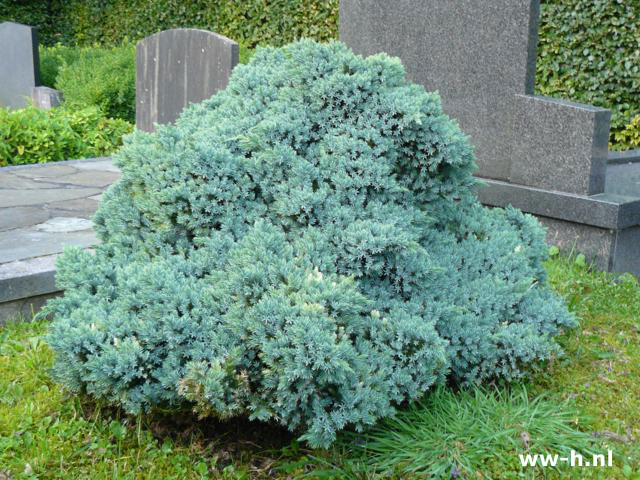 Juniperus squamata 'Blue Star' pot 9cm 1.25