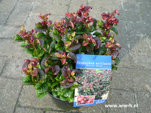 Leucothoe axilliaris 'Curly Red' 5,99