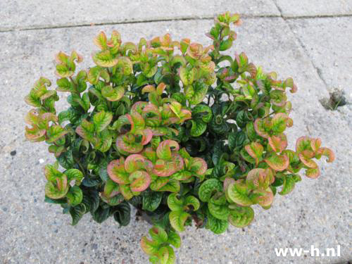 Leucothoe axillaris 'Curly red' Pot 2L 5,99