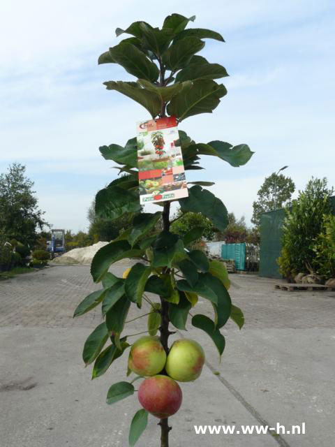 Malus domestica Red Sensation 12,50