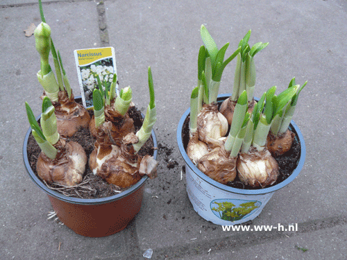 Narcis in pot 1,99 ; 2 voor 3,00