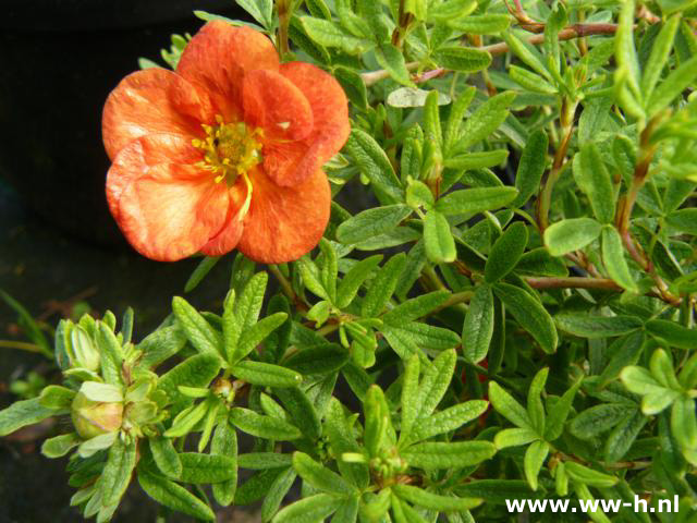 Potentilla fruticosa 'Red Ace' pot 2liter