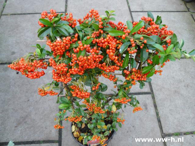 Pyracantha coccinea 'Red Column' 4.99