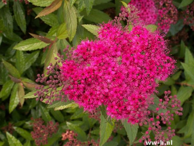 Spiraea japonica 'Anthony Waterer' pot 2liter 2.99