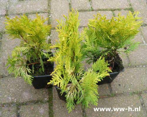 Thuja occidentalis 'Sunkist'pot 9 cm 1,25