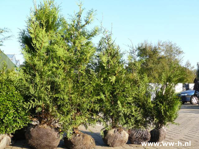 Thuja occidentalis 'Brabant' van 3.99 tot 8.75