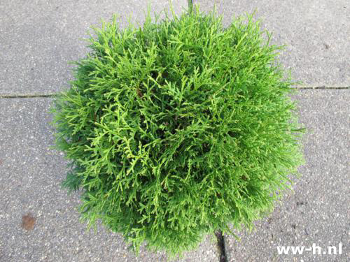 Thuja occidentalis 'Danica' Pot 7.5L 9.99