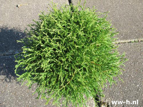 Thuja occidentalis 'Mr Bowling Ball' Pot 4L 6.99