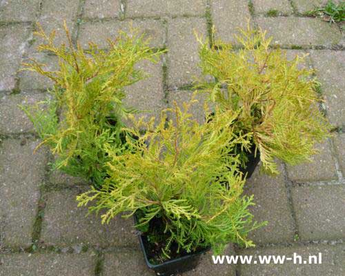 Thuja occidentalis 'Rheingold' pot 9 cm 0.99