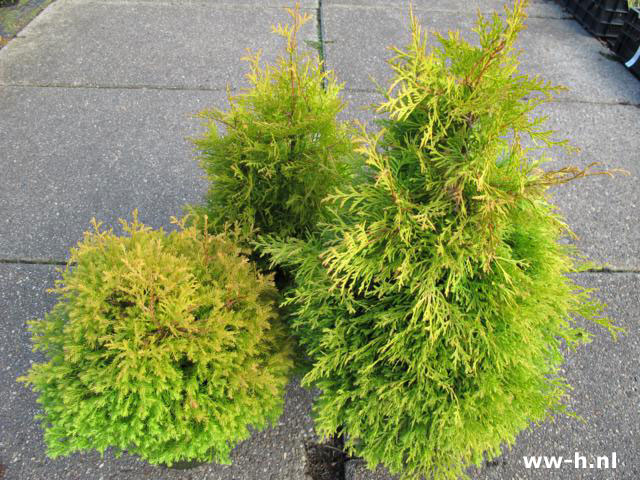 Thuja occidentalis 'Rheingold' v.a. 3.99