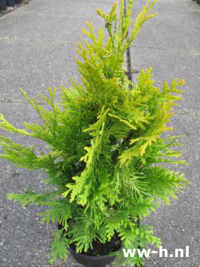 Thuja occidentalis 'Sunkist' v.a. 3,99